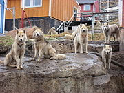 Greenland_dogs